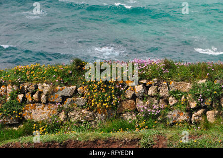 Cornish wall on the coast path on the Lizard peninsula. Granite, soil filled wall covered in pink thrift (Armeria maritima) and yellow kidney vetch (A - Stock Photo