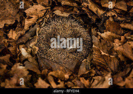 Hedgehog, wild, native, European hedgehog in natural woodland habitat and hibernating in golden brown Autumn or fall leaves.  Landscape, Horizontal - Stock Photo