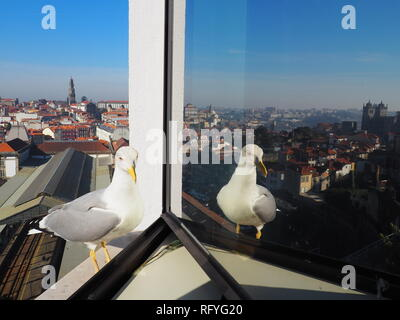 Seagull on a window sill of a hotel in Porto, with skyline reflected in the window - Porto - Portugal - Stock Photo