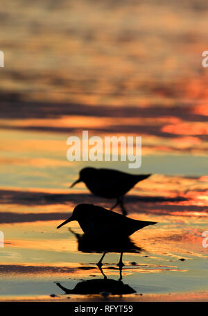 Two shorebirds are silhouetted against an orange sunset near Canon Beach, Oregon - Stock Photo