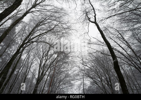 leafless forest tree canopy. silhouette of trees in forest. low angle view - Stock Photo