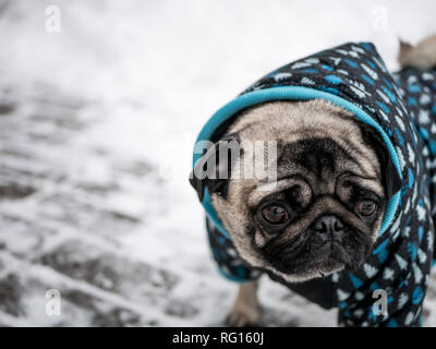 small dog pug in jacket - Stock Photo