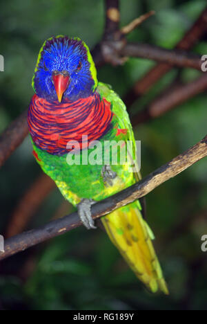 Rainbow or Coconut lorikeet (Trichoglossus haematodus) - Stock Photo