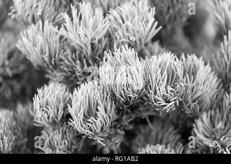 Spruce needles close up natural texture. Christmas mood for aroma. Fir tree needles on branches. Branch of fir tree green needles. Nature beauty texture. Fir needles soft and tender. - Stock Photo