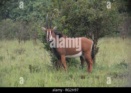 Sable Antelope (Hippotragus niger) in the grassy savannah of Shimba Hills National Park, Kenya. - Stock Photo