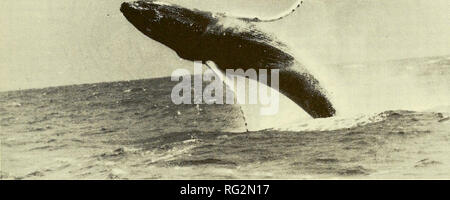 . The Canadian field-naturalist. 1987 WHITEHEAD: UPDATED STATUS OF THE HUMPBACK WHALE 285. Figure 1. Humpback Whale, Megaptera novaeangliae, breaching. side of each ocean (Mackintosh 1965). They generally migrate from warm tropical areas where they mate and calve in winter to Arctic or subarctic regions where they feed in summer. Thus Canadian waters are frequented by eastern north Pacific Humpback Whales off the West Coast, and western north Atlantic Humpback Whales off the East Coast. On both sides of the continent, Humpback Whales are principally in Canadian waters in summer (Figure 2). The - Stock Photo