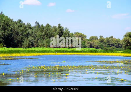 In the photo there is a river landscape with a coastline on which there are a herons walk around and lot of yellow lilies . - Stock Photo