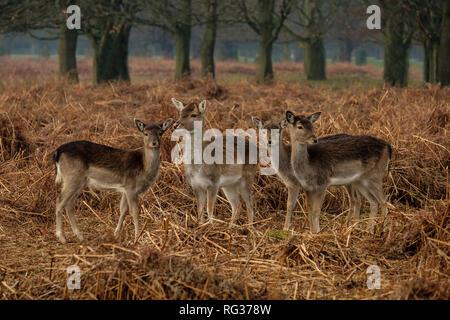 Group of four Fallow Deer Dama dama at Bushy Park Hampton London England - Stock Photo