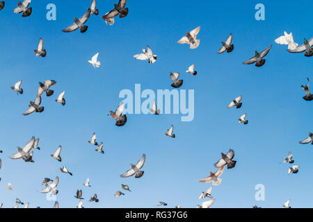 flock of pigeons in the blue sky - Stock Photo