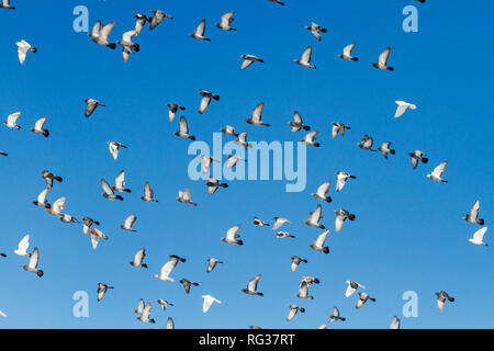 pigeons fly with open wings in the blue sky - Stock Photo