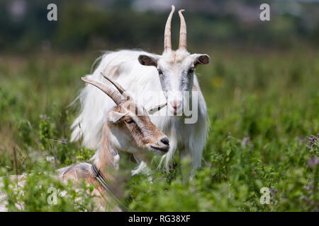 Two nice white hairy bearded goats with long horns grazing in high green blooming meadow grass on bright sunny warm summer day on blurred fields and t - Stock Photo