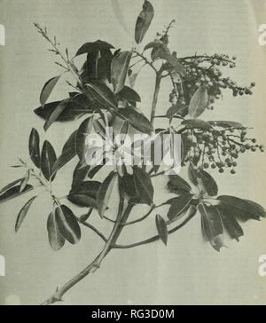 . The Canadian field-naturalist. Natural history. February, 1922. The Canadian Field-Naturaust 23 //y//////jry-'/j'yy. A. Fig. 3.—continuity IN INFLORESCENCE. Buds, blossoms and berries, picked from the same tree, 2nd November. 1!I20 V^ancouver Island, B.C. Arbutus Menziessii, Pursh. Locality, Cadboro Bay. Victoria dislri t.. Please note that these images are extracted from scanned page images that may have been digitally enhanced for readability - coloration and appearance of these illustrations may not perfectly resemble the original work.. Ottawa Field-Naturalists' Club. Ottawa - Stock Photo