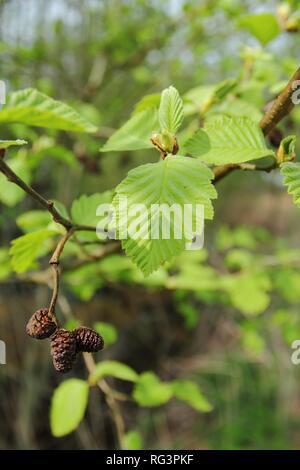 Close up of blooming branch of Alnus glutinosa, the common alder, black alder, European alder or just alder in spring. Poland, Europe - Stock Photo