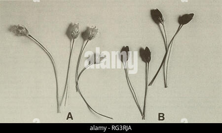 . The Canadian field-naturalist. Natural history. 1995 Ramamoorthy and Chinnappa: Sand Dune Long-Stalked Chickweed 217. Figure 1. Capsules of Stellaria longipes. A. Straw-colored, B. Black-colored. system), followed by acetone:HCI (5:1), and 1% HCl in water (Arditti and Dunn 1969). Isolated spots were eluted from the cellulose with 1% HCl in methanol and analyzed using the BAW system described previously, or n-butanol:2N HCl (1:1). Other solvents described by Harbome (1967) were employed but did not produce satisfactory separation of the pigments. These solvents included t- Butanohacetic acid: - Stock Photo