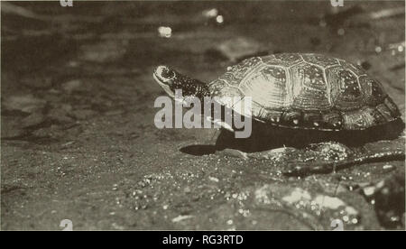 . The Canadian field-naturalist. Natural history. 1994 Herman, Power, and Eaton: Status of Blanding's Turtles in Nova Scotia 183. Figure 1. Blanding's Turtle, Emydoidea blandingii, below Grafon Lake, Kejimkujik National Park, July 1981. Photograph by Jamie Steeves, courtesy Parks Canada. species' known range remains restricted to parts of the Mersey and Medway River watersheds (Powell 1965; Dobson 1971; Weller 1973*i; Bleakney 1976*; Drysdale 1983*; Herman et al. 1989*) (Figures 3, 4). The Nova Scotia population is the most isolated single disjunct in the entire range of. Please note that thes - Stock Photo
