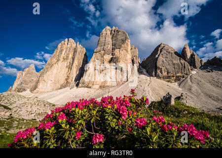 The north faces of the mountain group Tre Cime di Lavaredo, Alpine Roses (Rhododendron ferrugineum) blooming - Stock Photo