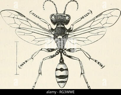. The Cambridge natural history. Zoology. 124 HYMENOPTERA. the deluded flies, until a safe opportunity presents itself, when its prey is taken without any chance of failure ; such is its ordinary mode of proceeding. At Bournemouth the flies are more active, more difficult to capture, or have they unmasked the treacherous Mdlimis ? and is it found necessary to adopt some fresh contrivance in order to â¢^ ^ accomplish its ends ? if so, it is Fig. 48.âMellinus arvcnsis ?. Britain. ^ i r- â i. ⢠i ⢠t not dencient m devices. 1 noticed once or twice, what I took to be a dead specimen of Mellinus, - Stock Photo