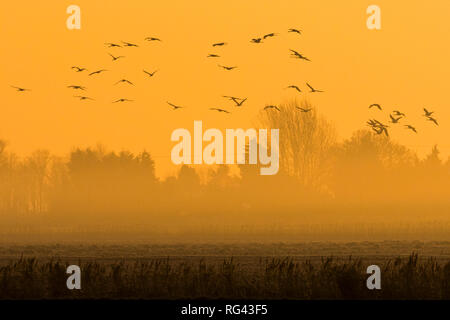 Flock of Common Crane (Grus grus) flying into fields in the Fens at dawn, Cambridgeshire, England - Stock Photo