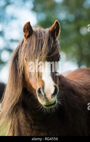 Portrait of a brown horse with hair in its eyes - Stock Photo