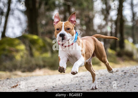 Young male American Staffordshire Terrier running full of joy - Stock Photo