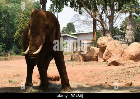 Dusty African Bush Elephant In Park (loxodonta africana) - Stock Photo
