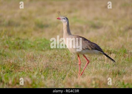 Red-legged Seriema or Crested Cariama, Cariama Cristata, bird in seriema family Cariamidae, Bonito, Brazil - Stock Photo