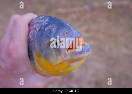 Man's hand holding freshly caught piranha fish with big teeth in Mato Grosso, Pantanal, Brazil - Stock Photo