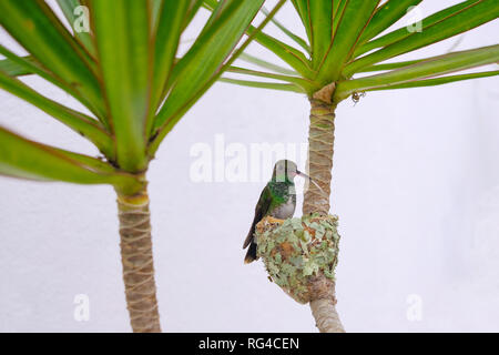 Female Glittering-Bellied Emerald hummingbird, Chlorostilbon Lucidus, sitting on her nest, Brazil - Stock Photo