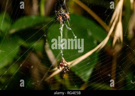 Jewel Spider with lunch in the Summer Rose  garden - Stock Photo