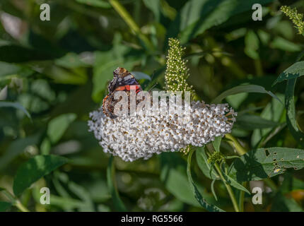 Color outdoor macro of a vanessa atalanta/red admiral/red admirable butterfly, white flowering lilac blossom in a garden on a summer or spring day - Stock Photo