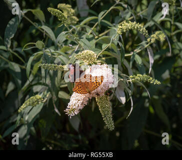 Outdoor summer / spring  color macro of a single Quail Wheat Fritillary butterfly sitting on a white lilac blossom with bees and a red admiral,sunny - Stock Photo