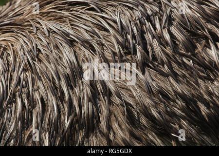 Emu (Dromaius novaehollandiae). Plumage texture. - Stock Photo