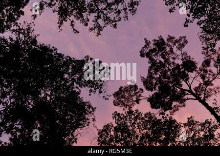 Looking up into the tree canopy with a purple sunset, Fern flat campsite area, Eungella National Park, Queensland, Australia - Stock Photo
