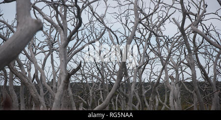 Defoliated dead eucalyptus trees - Stock Photo