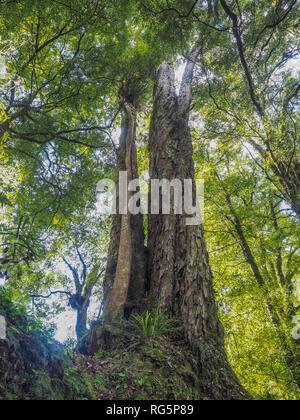 Northern Rata tree vine growing down trunk  of rimu tree, Whirinaki Forest Park, Te Urewera, North Island, New Zealand - Stock Photo