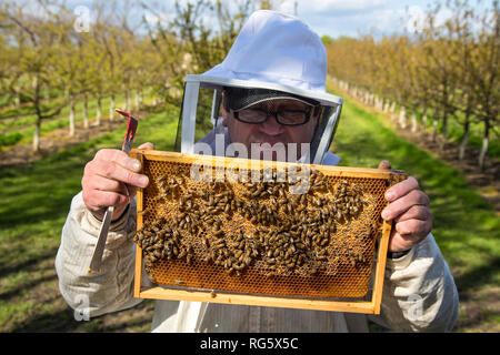 beekeeper controls honey bees, honeycomb, beehive, fruit cultivation, Imker kontrolliert Honigbienen, Honigwabe, Bienenstock, Obstanbau - Stock Photo