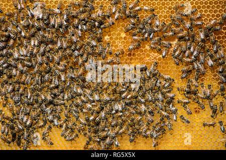 honey bees, honeycomb, beehive, Honigbienen, Honigwabe, Bienenstock - Stock Photo