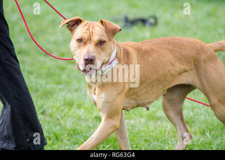 Red American Pit Bull Terrier on collar and leash during a dog event - Stock Photo