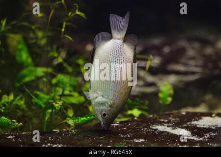 Kissing gourami (Helostoma temminckii), also known as the kissing fish. - Stock Photo