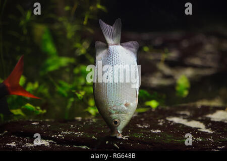 Kissing gourami (Helostoma temminckii), also known as the kissing fish. - Stock Photo