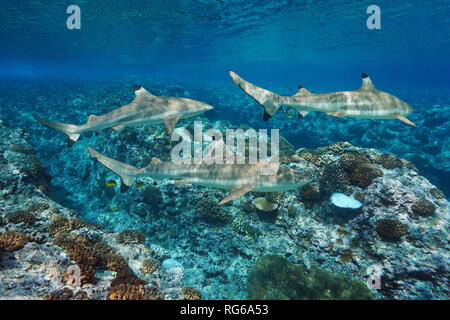 Blacktip reef sharks underwater and corals, Pacific ocean, French Polynesia - Stock Photo