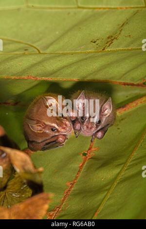 Tent-making Bat (Uroderma bilobatum) two hanging upside down on underside of leaf, Turrialba, Costa Rica, October - Stock Photo