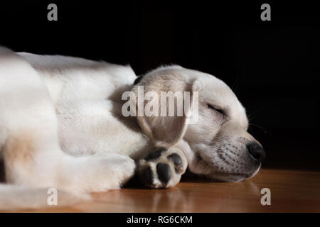 Adorable 9-week old yellow labrador puppy sleeping peacefully on a hardwood floor. The sun filters in through a window onto the sweet puppy's face. - Stock Photo