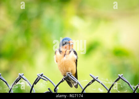 A North American barn swallow (Hirundo rustica, Hirundo rustica erythrogaster) perched on a fence in Beaumont, Alberta, Canada. - Stock Photo