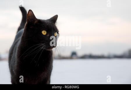 portrait of black cat on snow background in winter landscape - Stock Photo