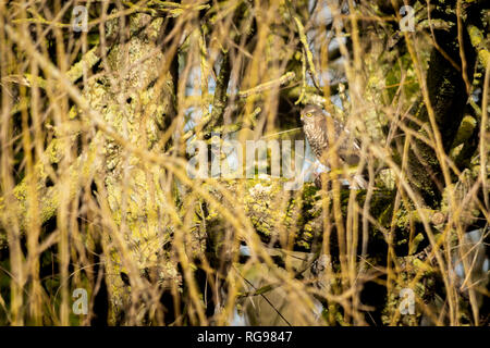 A Eurasian Sparrowhawk (Accipiter Nisus) camouflaged amongst the branches of a willow tree in East Devon, South West England, United Kingdom. - Stock Photo