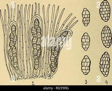 . Bulletin trimestriel de la Société mycologique de France. Mycology; Fungi; Fungi. 16 N. R.'lNOIEVITCH. contextu parenchymatico fuligineo-bruneis, setulis concoloribuS, apicem versus dilutioribus, erectis, leniter curvulis, sursum attenuatis, usque ad 118 [a longis, 4-5,5 jj. latis praeditis, osliolo 20-30 [X lato. Ascis oblongo-clavatis, cylindraceis, reetis, curvulis, supra. Fig. 2. â Pyrenophora Meliloli. n. sp. : 1, poils du périthèce ; 2, asques avec les pai'aphyses ; 3,spores jeunes et 4, spores âgées fgross: 1, 2 et 3, oc. I, obj.7; 4, 00. IV, obj. 7). rotundatis, stipitatis, oct - Stock Photo