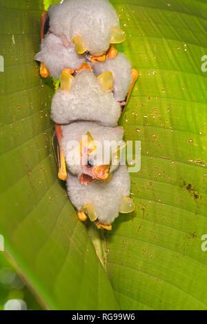 Honduran White Tent Bat (Ectophylla alba) small group resting on underside of leaf, Turrialba, Costa Rica, October - Stock Photo