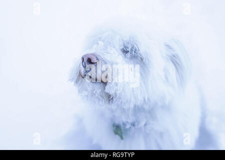 white long hair dog with snow - Stock Photo