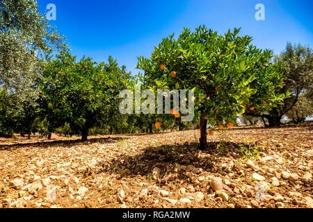 Spain, Andalucía, Málaga, Mondrón, Orange (Citrus sinensis) Tree in orchard - Stock Photo